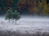 Two young pines in the misty meadow
