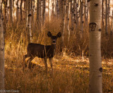 White tail among the aspens