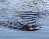 Beaver at Deadman Lake