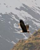 Seagull chasing a bald eagle