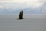 Eagle at our campground, Starisky