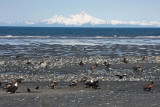 So many eagles that the locals call them Alaskan Pigeons