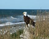 Bald Eagle at Anchor Point