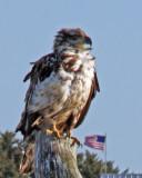 Golden Eagle with US Flag