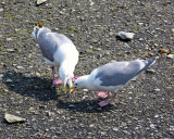 Seagull coughing up lunch for its young