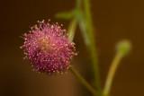 Mimoza wstydliwa (Mimosa pudica)