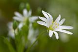 Gwiazdnica wielkokwiatowa (Stellaria holostea L.)