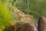 (Palaemon macrodactylus)