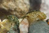 (Dikerogammarus villosus)