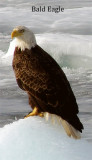Bald Eagle tall