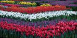 Amsterdam Tulip Event