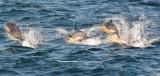 Cetaceans    ( Dolphins )
