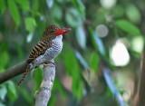 Banded Kingfisher, female