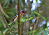Banded Kingfisher