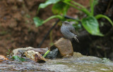 Plumbeous Redstart, female