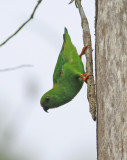 Sulawesi Great Hanging Parrot