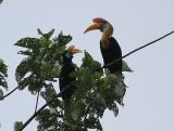 Red-knobbed Hornbills