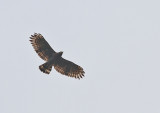 Sulawesi Crested Serpent Eagle