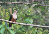 Cinnamon-bellied Imperial Pigeon