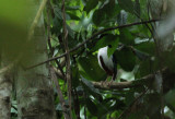 Ivory-breasted Pitta