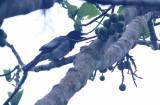 Moluccan Cuckoo Shrike