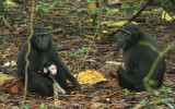 Crested Black Macaques