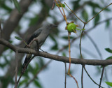 Wood Shrikes, Cuckoo Shrikes, Triller