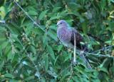 Barred Cuckoo Dove