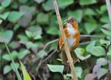Rusty-cheeked Scimitar Babbler