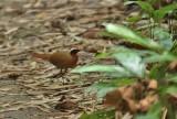 Malaysian Rail Babbler