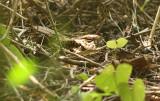 Sulawesi Nightjar