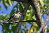 Little Bronze Cuckoo, male
