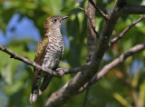 Little Bronze Cuckoo, female