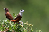 Pale-headed Munia