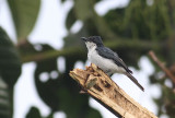 Slaty Flycatcher