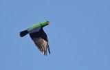 Eclectus Parrot, male