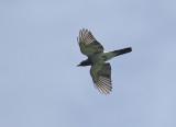 Moluccan Cockoo Shrike