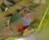 Moluccan Pitta  (Red-bellied)
