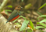 Sulawesi Pitta (Red-bellied)