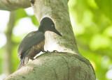 Ashy Woodpecker, female