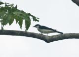 Pied Cuckoo Shrike