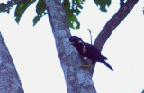 Sulawesi Crested Myna