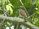 Spot-tailed Sparrohawk
