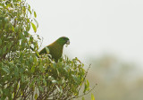 Yellow-breasted  Racquet-tailed Parrot