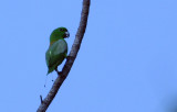 Golden-mantled Racquet-tailed Parrot