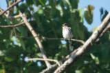 Sulawesi Flycatcher (or is it Grey-streaked?)