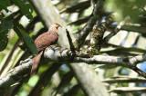 Sultan's  Cuckoo Dove