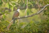 Grey-headed Imperial Pigeon