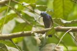 Loten's Sunbird