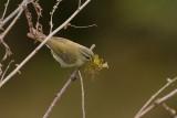 Large-billed Warbler